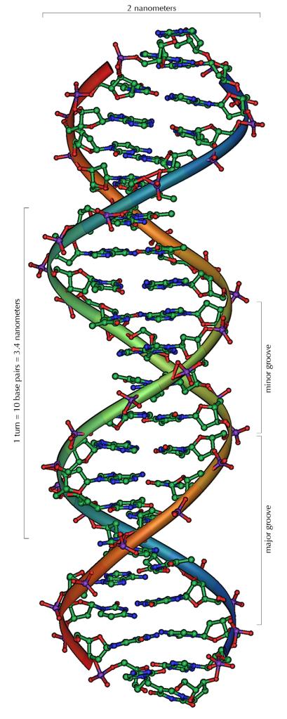 La doble hèlix de l'estructura de l'ADN