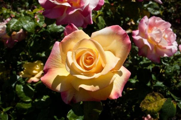 Heritage Rose Garden, de HarshLight, al Flickr