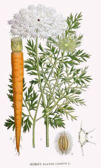 Echte Möhre, Daucus carota, de la Viquipèdia