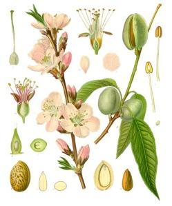 Ametlla, de Franz Eugen Köhler, Köhler's Medizinal-Pflanzen, a la Viquipèdia