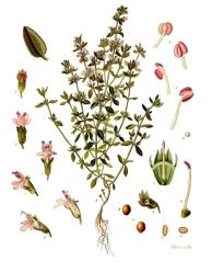 Thymus vulgaris, de Franz Eugen Köhler, Köhler's Medizinal-Pflanzen, a la Viquipèdia