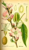 Prunus dulcis, a la Viquipèdia
