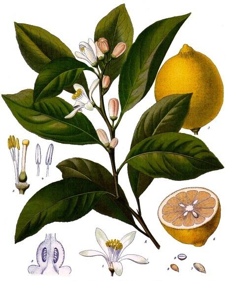 Citrus x limon, de Franz Eugen Köhler, Köhler's Medizinal-Pflanzen, Viquipèdia