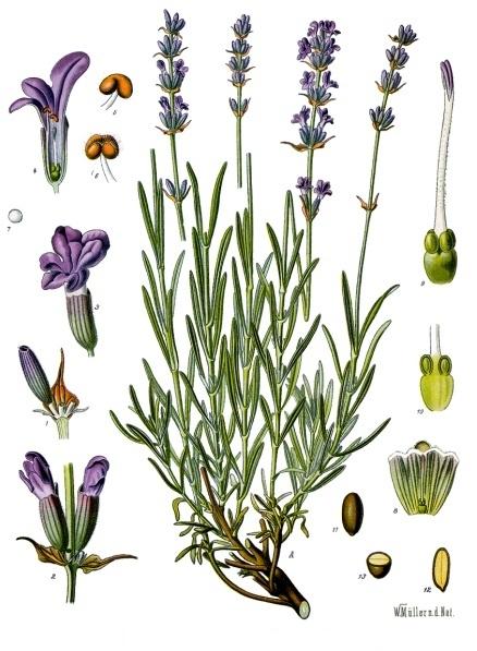 Parts florals de l'espígol, Lavandula angustifolia, de Franz Eugen Köhler, de la Köhler's Medizinal-Pflanzen, Viquipèdia