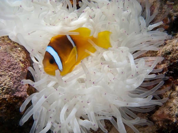 'Anemone Fish in White Anemone', de prilfish, Flickr