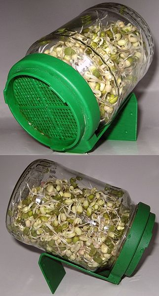 """""""Sprouting mung beans in a jar"""", Viquipèdia"""