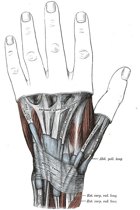 Anatomia de la mà, Viquipèdia