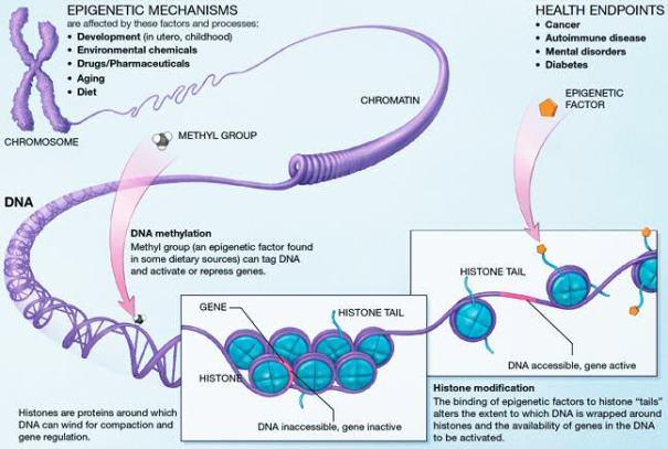 """Epigenetic mechanisms"" de National Institutes of Health, a Viquipèdia"
