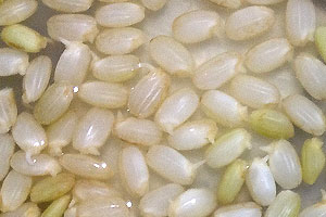 """Germinated Brown Rice"" a Kyoto Grain System Co.,Ltd"