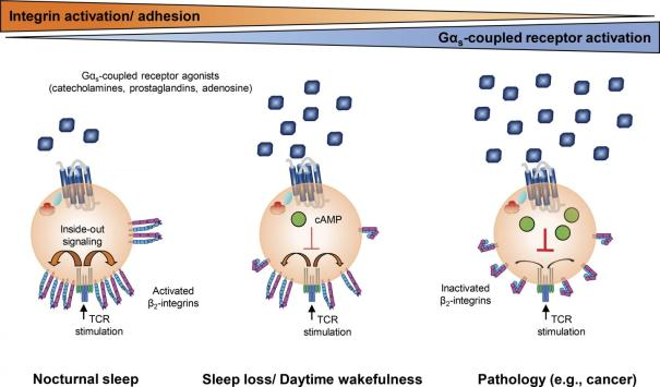 """Effects of Gαs-coupled agonists on T cells can be influenced by sleep or disease"", de Dimitrov et al., 2019"