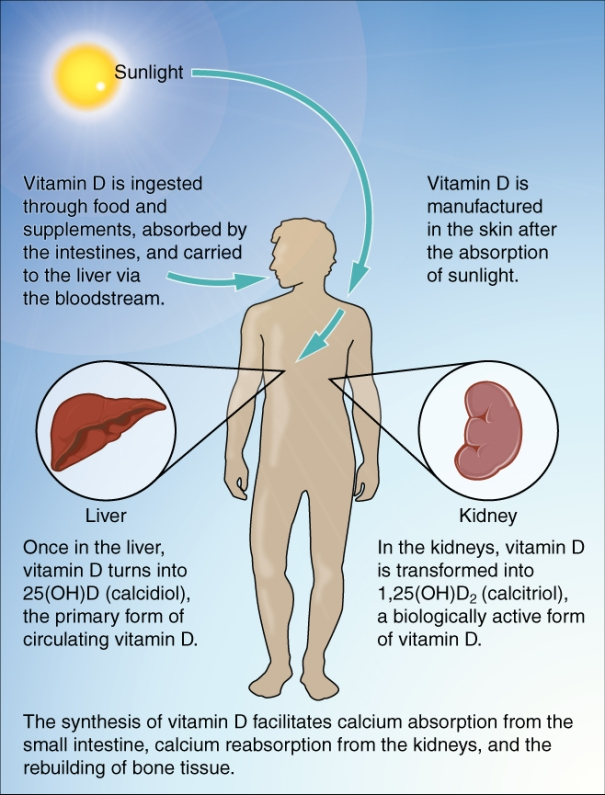 """""""Synthesis of Vitamin D"""", de OpenStax College - Anatomy & Physiology, a la Wiquipèdia"""
